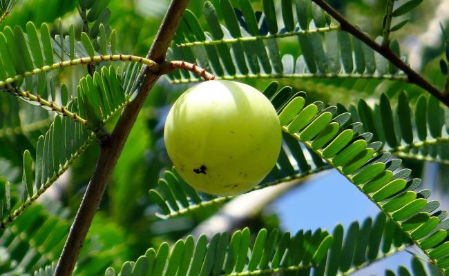 Benefits of Eating Amla