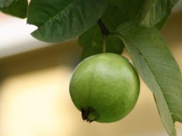 Benefits of Eating Guava